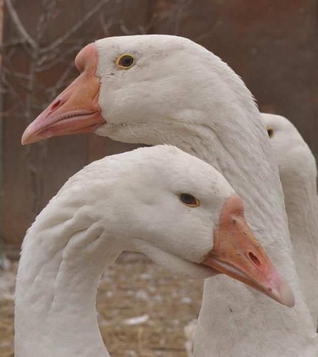 Как гусака отличить от гусыни: внешние, поведенческие и анатомические признаки