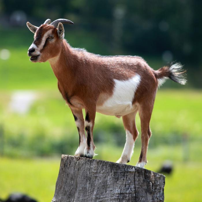 Коза перет доениям