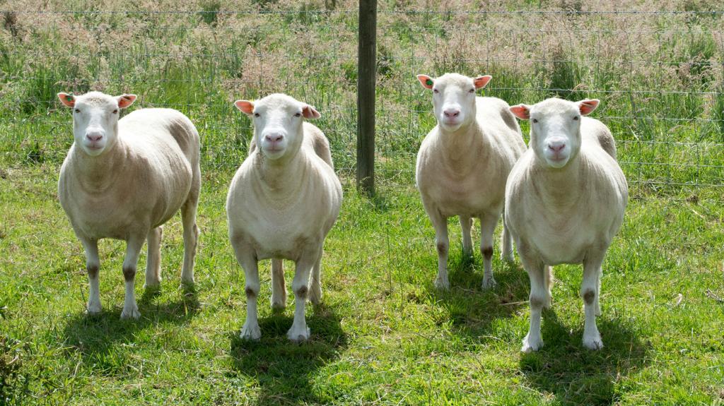 клоны овец