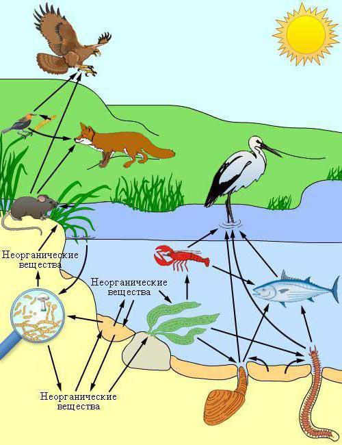В чем сущность правила экологической пирамиды
