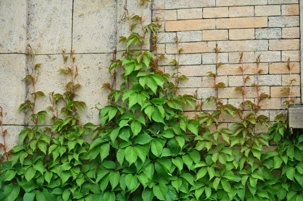 Девичий виноград можно ли сажать в тени 52