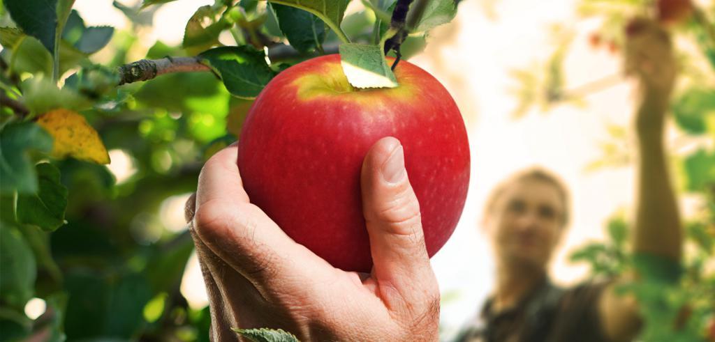 яблоко на дерево