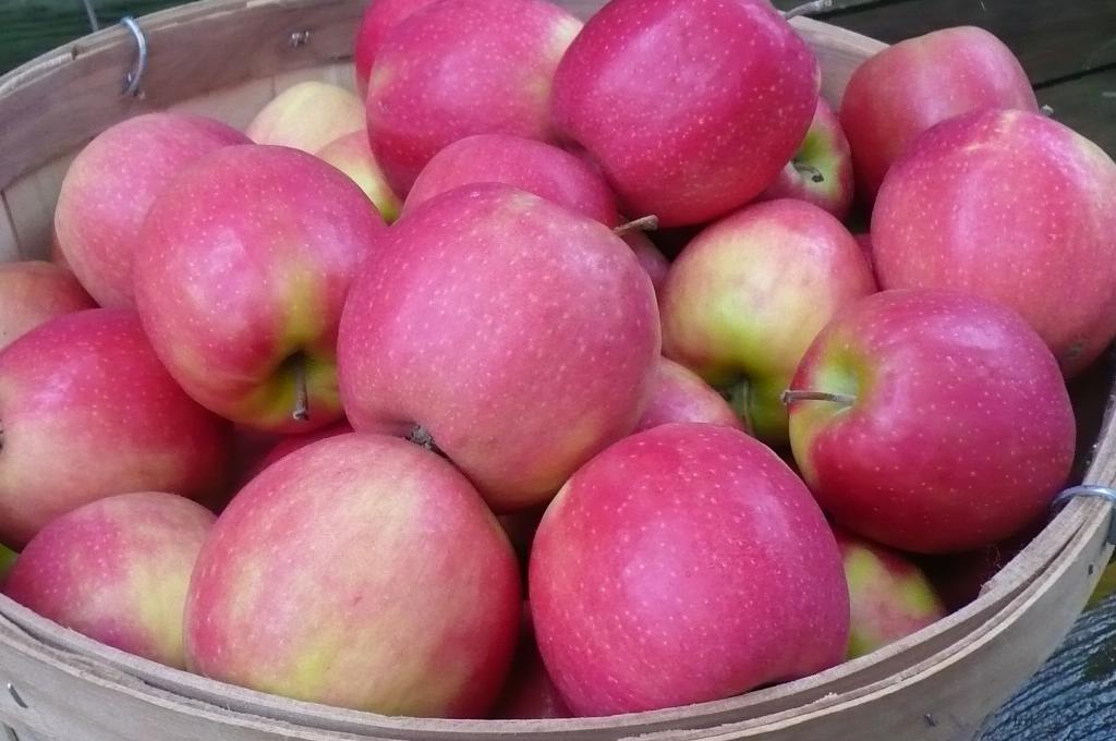 Яблоня пинк леди описание фото отзывы