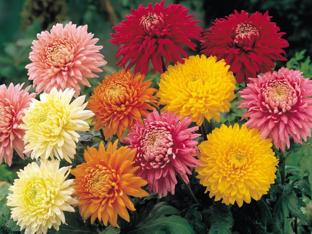 сорта крупноцветковых хризантем