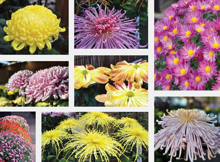 сорта крупных хризантем