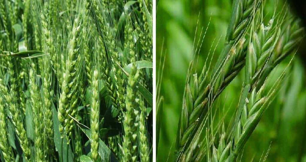 Пшеница и плевелы картинки