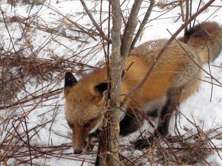 как поймать лису в капкан