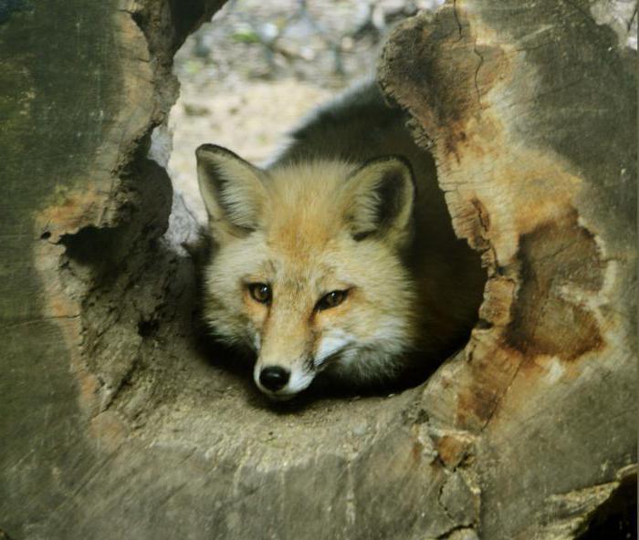 как можно поймать или убить лису