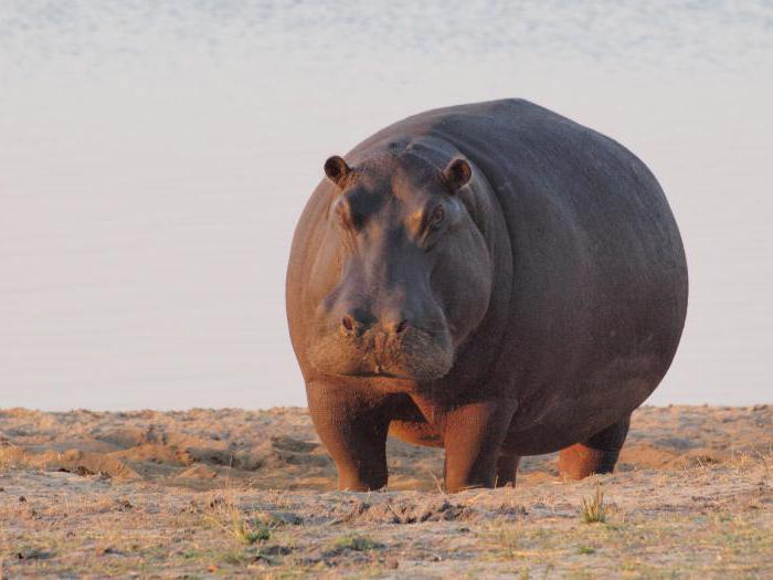 К чему снится бегемот — маленький или большой