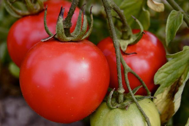 же, к чему снится собирать неспелую помидору подробнее том