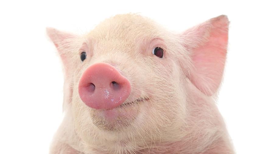 Сонник свинья занимается сексом
