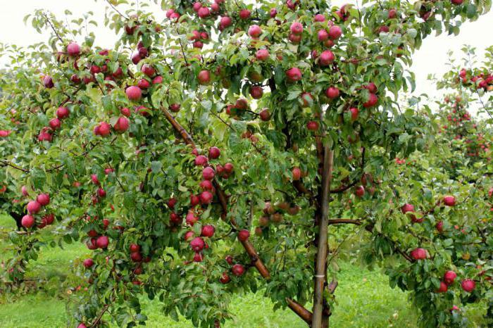 подарок графскому яблоня описание