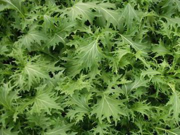 капуста листовая японская мизуна