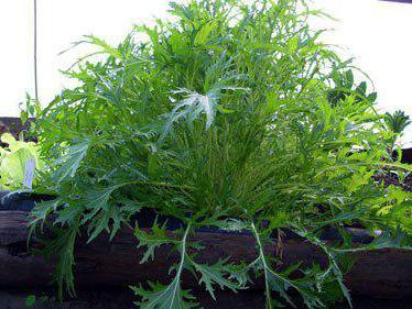 выращивание японской капусты