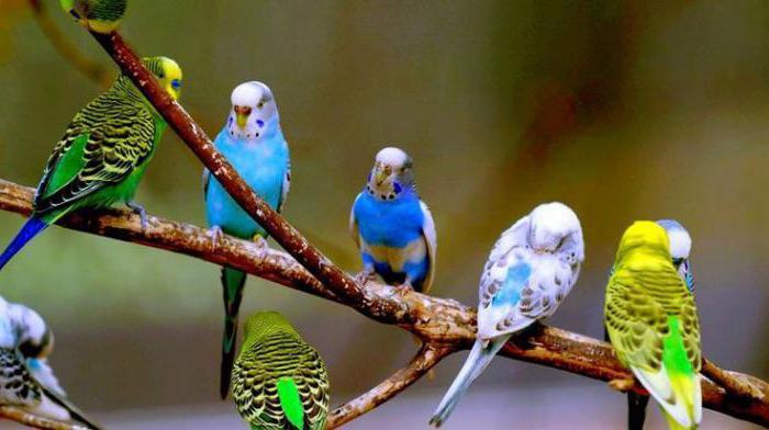 как определить вид попугая
