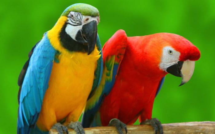 сколько видов попугаев