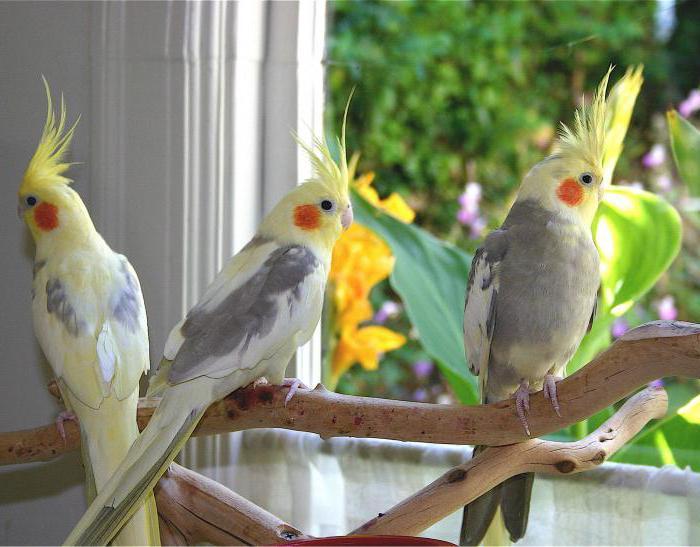 вид попугаев разговорчивых