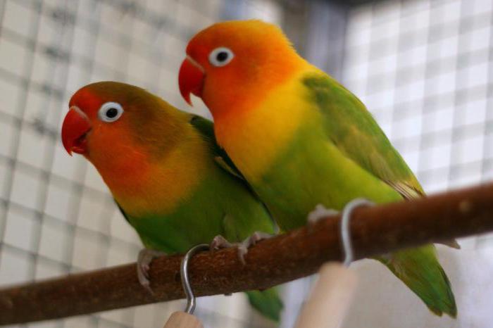 виды попугаев в мире