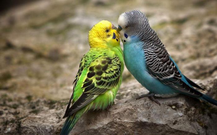 какой вид попугаев самый разговорчивый