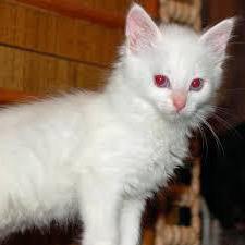 котята альбиносы