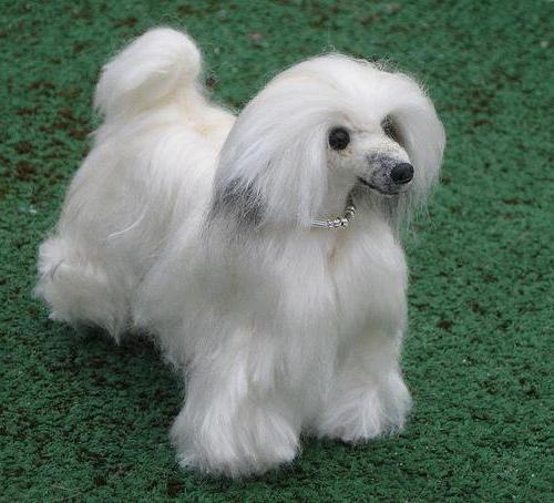 порода собаки китайская хохлатая пуховка
