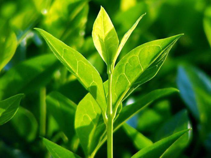 масло чайного дерева для лица применение
