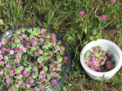 трава клевера лугового