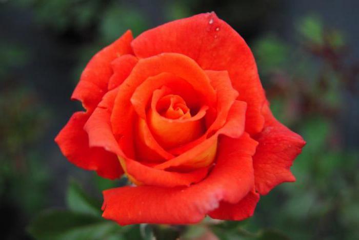 Роза моника фото описание