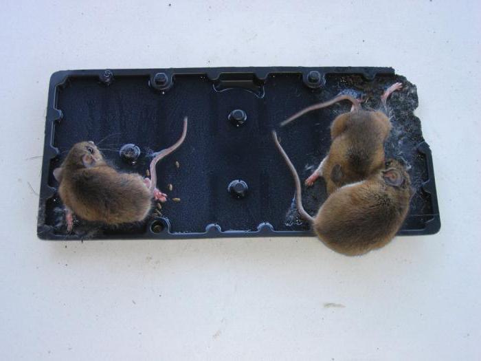как избавиться в курятнике от крыс