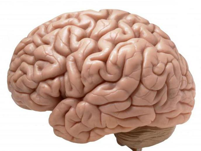 Головной мозг таблица
