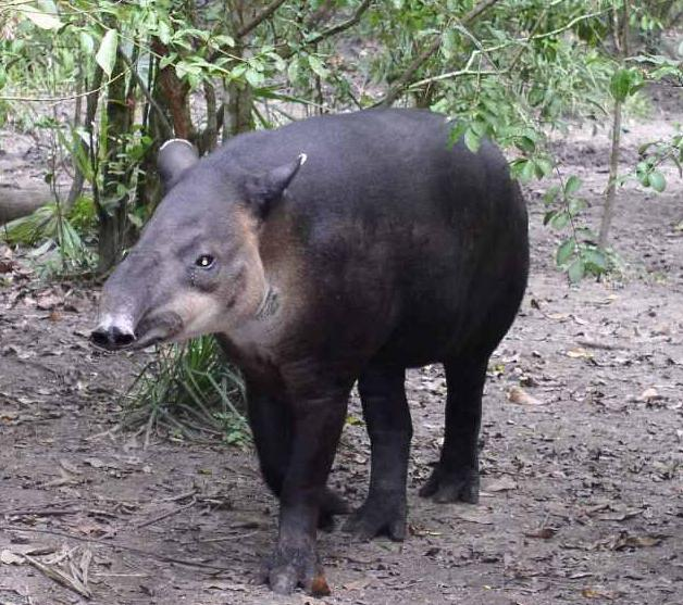 Непарнокопытные животные список животных с фото