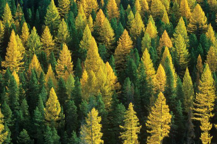 хвойно лиственный лес