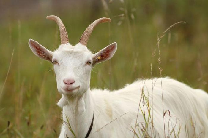 признаки охоÑ'Ñ‹ у коз