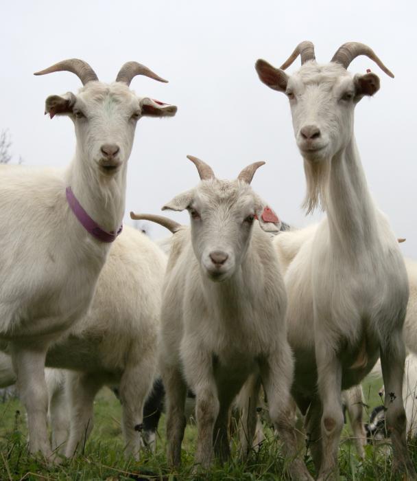 охоÑ'а и случка коз основные признаки охоÑ'Ñ‹