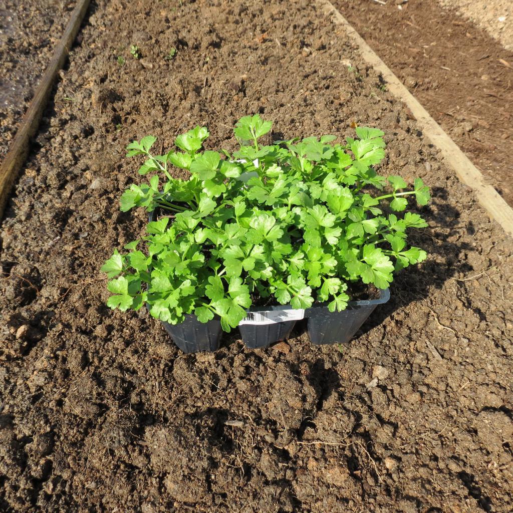 Выращивание корневого сельдерея в подмосковье в открытом грунте 35