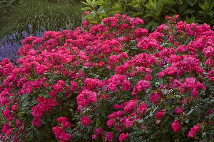 сорта кустовых цветов