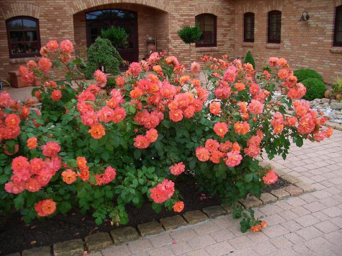 цветы розы кустовые