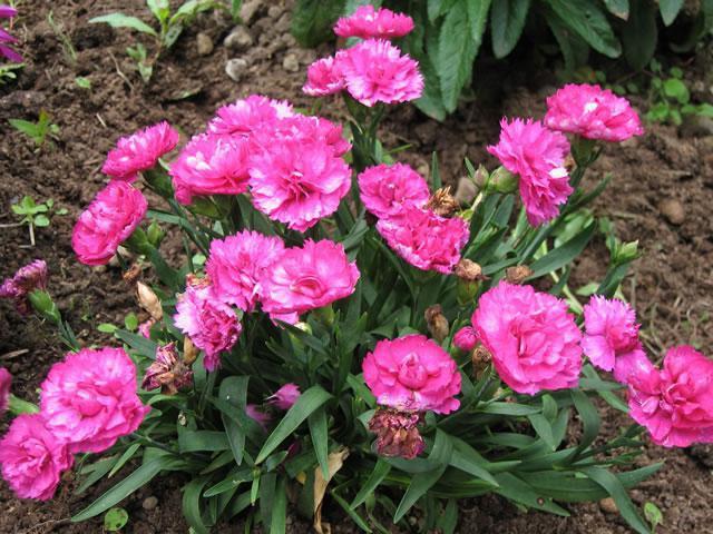 кустовые цветы многолетние названия