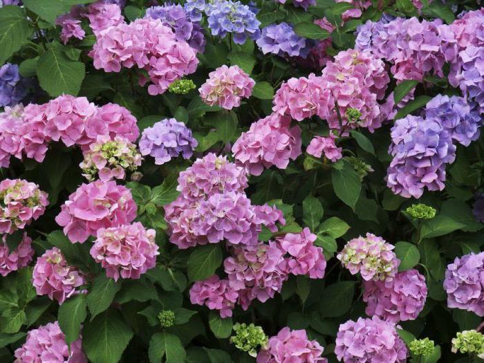 кустовые цветы названия