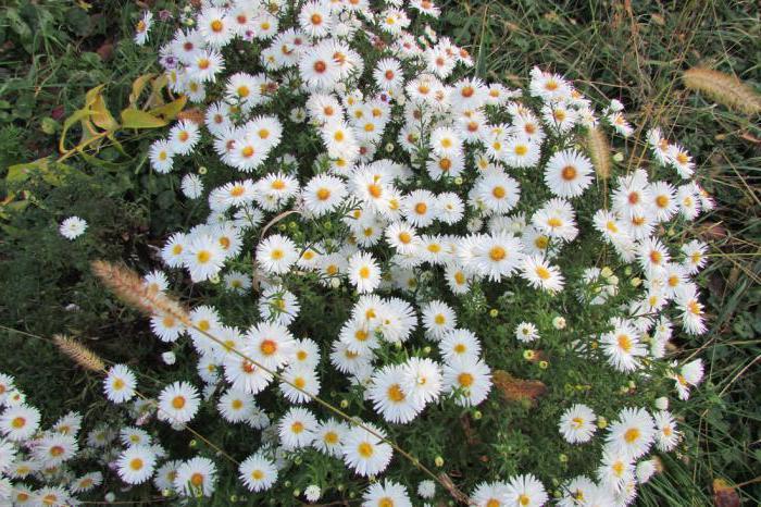 вересковая астра многолетняя почвопокровная