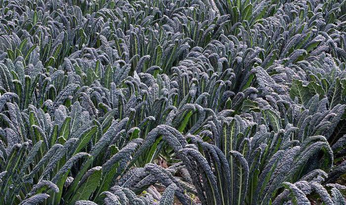 сорта кормовой капусты