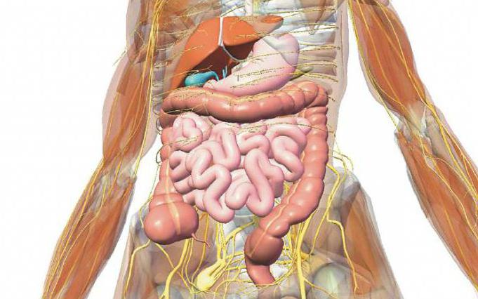 Female anatomy stomach