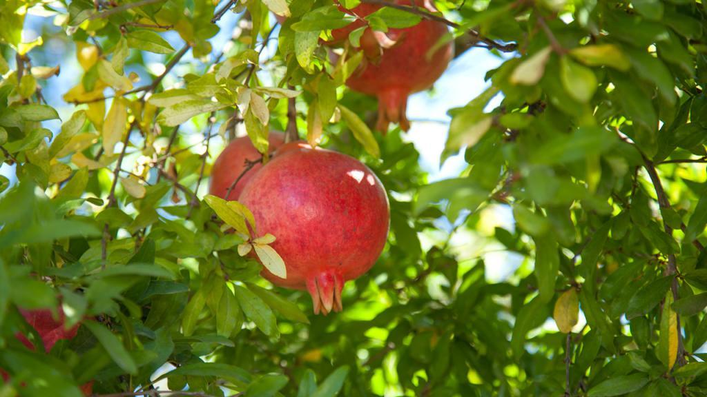 Гранатовое дерево и плоды