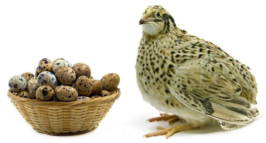 перепел и перепелиные яйца