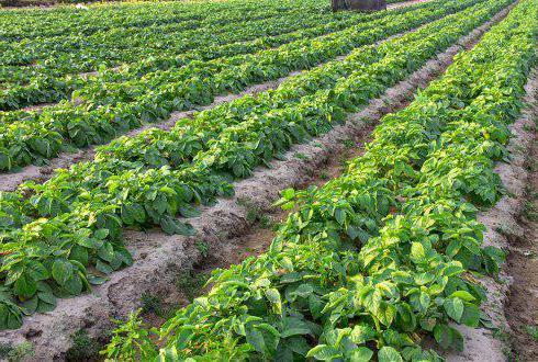 описание сорта картофеля киви характеристика