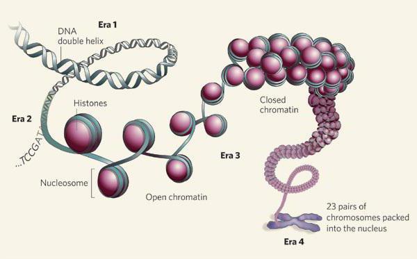 белки гистоны