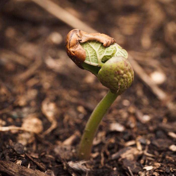 строение семени фасоли схема
