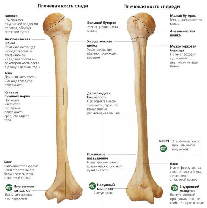 анатомия плечевая кость