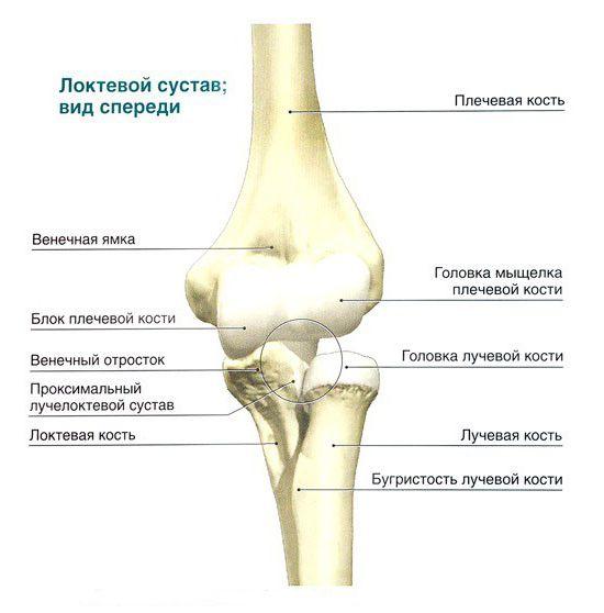 плечевая кость строение анатомия