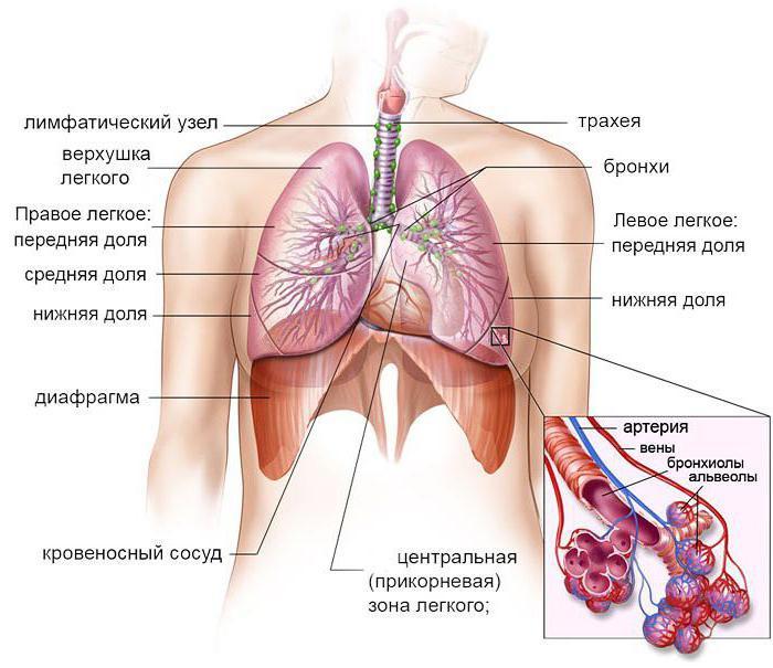 Дырки на альвеолах легких